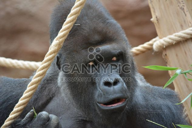 Gorilla on rope clibbing in park - image #333199 gratis