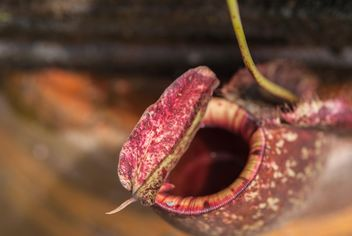 Nepenthes ampullaria, a carnivorous plant - бесплатный image #333279
