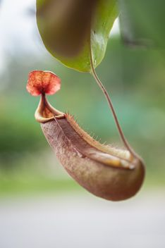Nepenthes ampullaria, a carnivorous plant - бесплатный image #333289