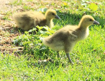 Ducklings on green grass - Free image #333809