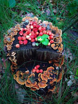 Wild strawberries on moss stump - image gratuit #334289