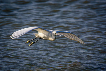 Little Egret - Free image #334519