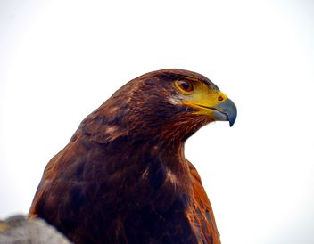 Brown hawk - image #334819 gratis