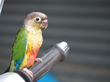 Colorful parrot on handle - image gratuit #337449