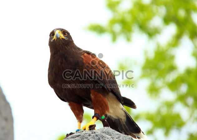 Brown eagle on stone - Free image #337549