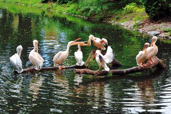 Pelican birds on beams in lake - Free image #337819