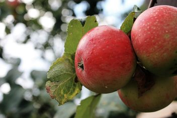 Apples ripening on branch - image gratuit #337879