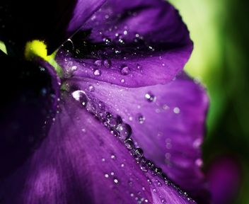 Pansy flower with dew drops - image #338289 gratis