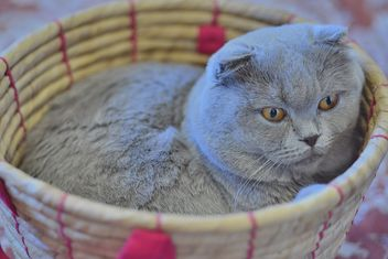 Grey cat in basket - Free image #339199