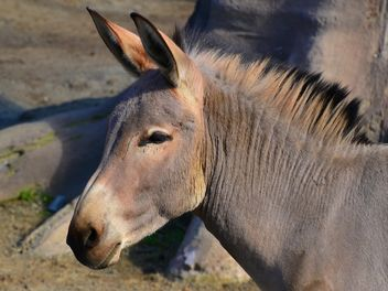 Portrait of brown donkey - image gratuit #341319
