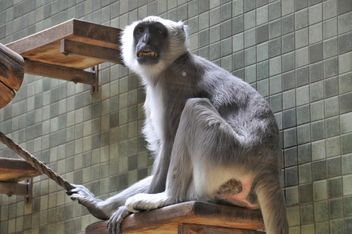 Grey monkey in zoo - image #341329 gratis