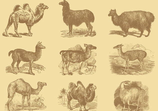 Alpacas And Camels - Free vector #342239