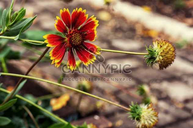 Red and yellow flower closeup - Free image #342469