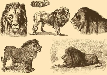 Lions Old Style Drawings - vector gratuit #342749