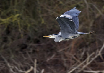 Grey Heron flying - Free image #342819