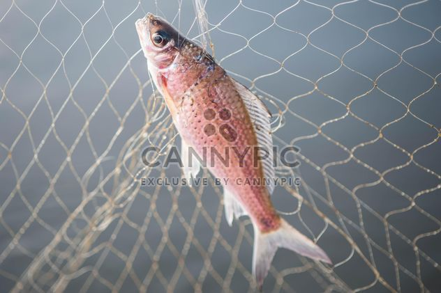 A fish in net - Free image #343589