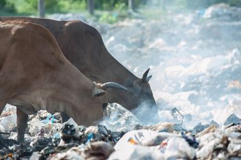 cows on landfill - image gratuit #343839
