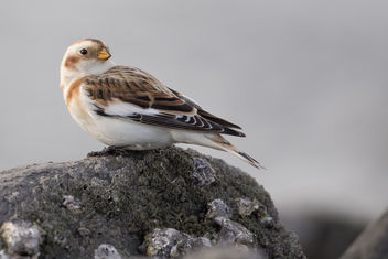 Sneeuwgors / Plectrophenax nivalis / Snow Bunting - Free image #344369