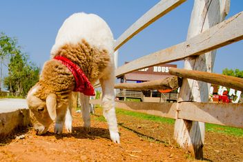 Cute sheep on farm - image #344449 gratis