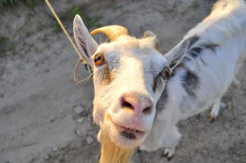 Closeup portrait of goat looking at camera - бесплатный image #345889