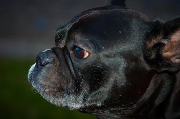 Portrait of cute French Bulldog - Free image #346199