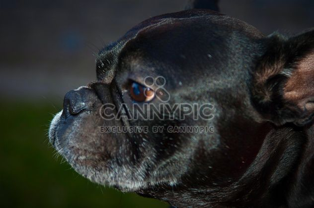 Portrait of cute French Bulldog - Kostenloses image #346199