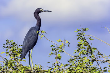 Heron in a Tree - image #346889 gratis