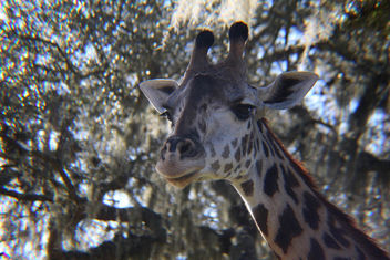 Giraffe Close-up - Kostenloses image #347869