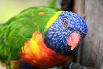 Tropical rainbow lorikeet parrot - бесплатный image #348479