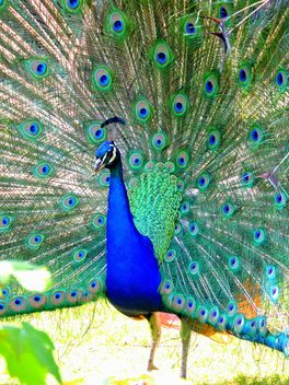 Beautiful peacock with feathers out - image #348579 gratis