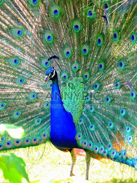 Beautiful peacock with feathers out - Free image #348579