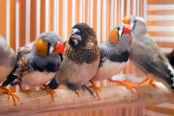 Sparrow and zebra finches - image gratuit #350239
