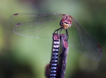Close-up of dragonfly on twig - image #350269 gratis