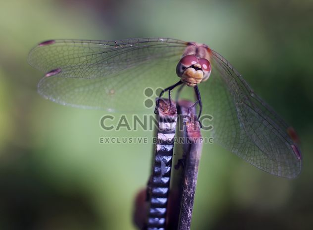 Close-up of dragonfly on twig - Free image #350269