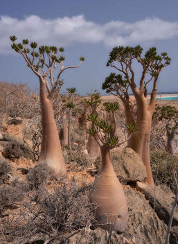 Bottle Trees, Socotra Is. - Kostenloses image #361489