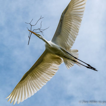 Great White Egret - image #361499 gratis
