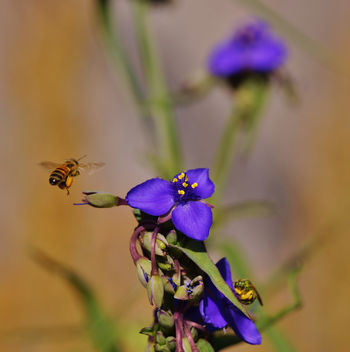 Spiderworts and Bees ~~ SonyA580 - Free image #362399