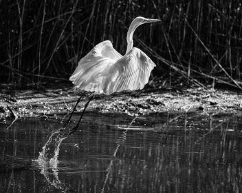Great Egret CNWR - Free image #363639