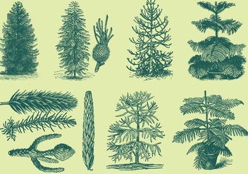 Old Style Drawing Araucarias - Free vector #368789