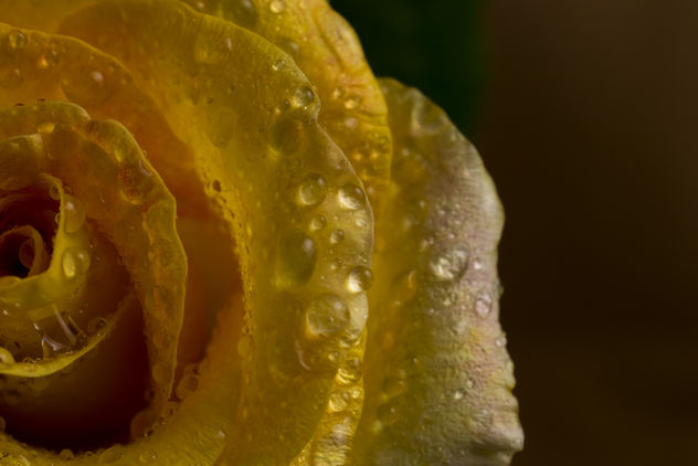 Yellow Rose - Free image #369169