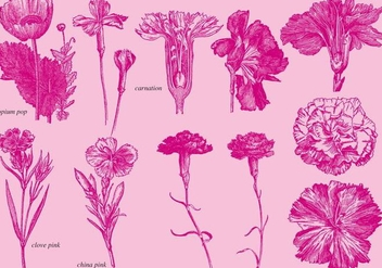 Old Style Drawing Carnations - Kostenloses vector #373399