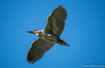 Black-crested Night Heron - image #376619 gratis
