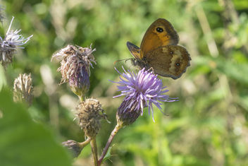 Oranje zandoogje/Pyronia tithonus/Gatekeeper/hedge brown. - image gratuit #381179