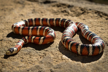 Sonoran Mountain Kingsnake - image gratuit #387059