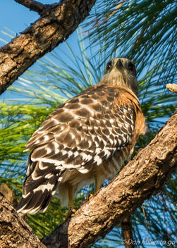 Red-shoulder Hawk - Kostenloses image #387549