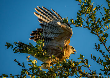 Red-shouldered Hawk - Kostenloses image #388519