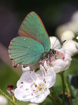 Green Hairstreak - Kostenloses image #388529