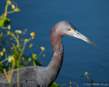 Little Blue Heron - image #388589 gratis