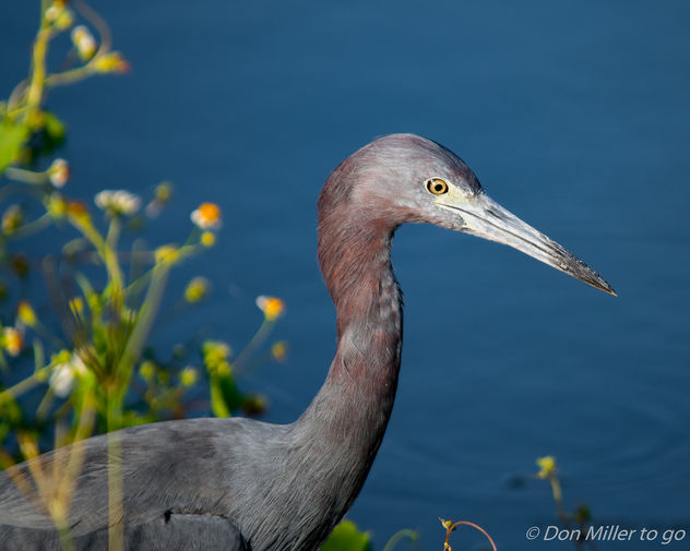 Little Blue Heron - Free image #388589