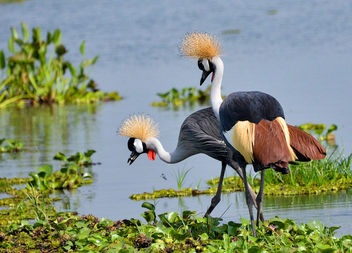 Crested Cranes - Free image #389839